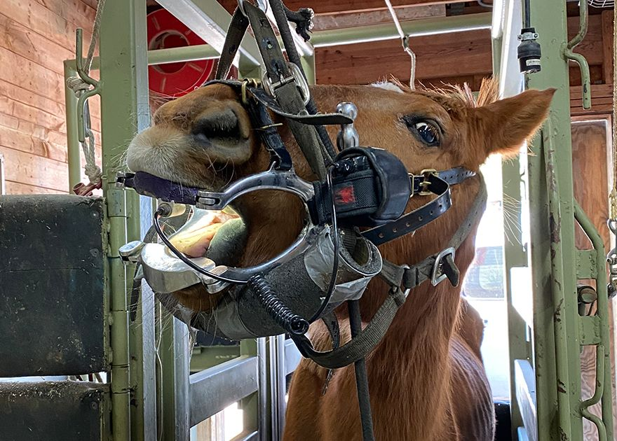 brown horse on a dental procedure at hope animal clinic